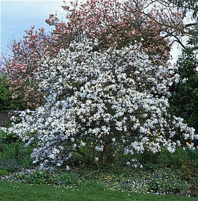 Magnolia's Blessing 3