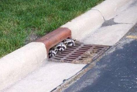 3 critters Drain