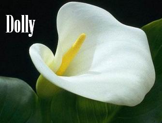 Calla Flower 1