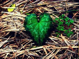 heart plant 78