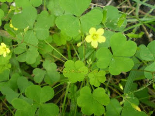 Heart Wood Sorrel