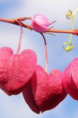 Hearts 18