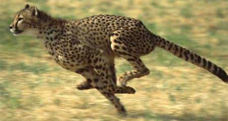 cheetah0278