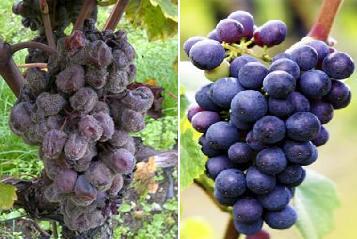 Grapes - 2