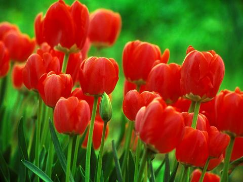 Red Tulips 1