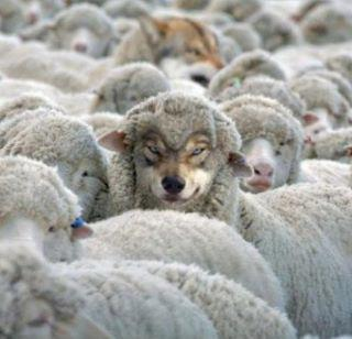 Wolves in Sheeps Clothing