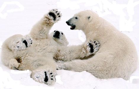 Polar Bear 12