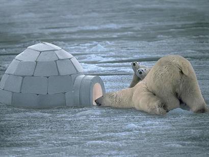 Polar Bear 9