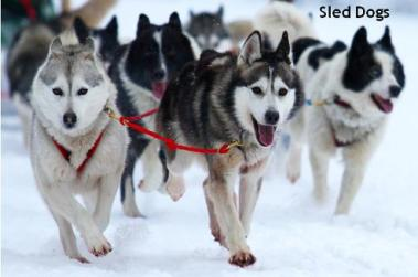 SLED DOGS 3
