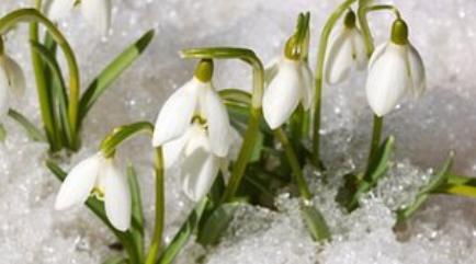 Snowdrops 45