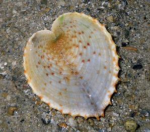 HEART SHAPED SHELLS 2