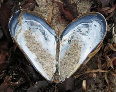 HEART SHAPED SHELLS 5
