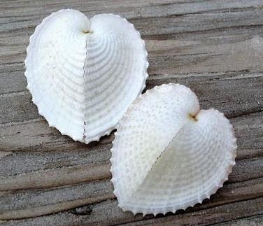 HEART SHAPED SHELLS 6