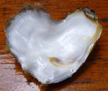 HEART SHAPED SHELLS 7